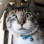 gato estrabico