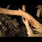 Um leopardo mata um babuíno e quando vai devorá-lo, descobre algo