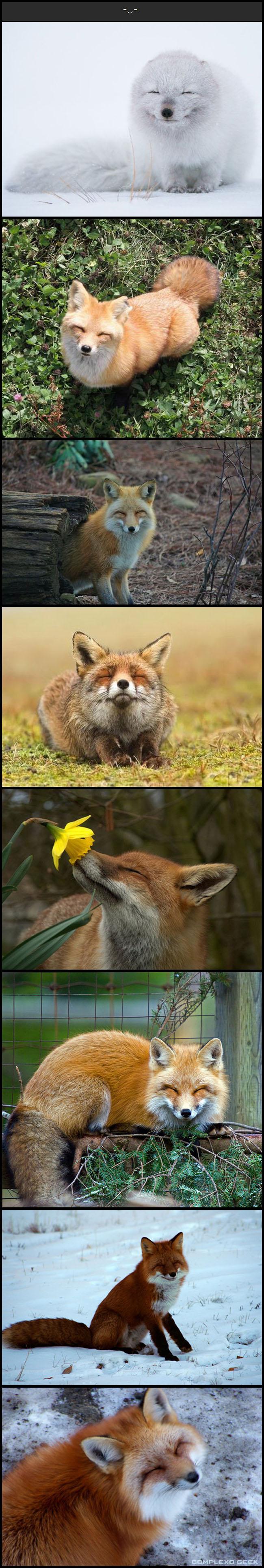 4 raposas animais mais felizes