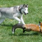 O Cão e a Raposa | Amizade também na vida real