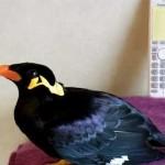 Esse pássaro fala japonês melhor do que você